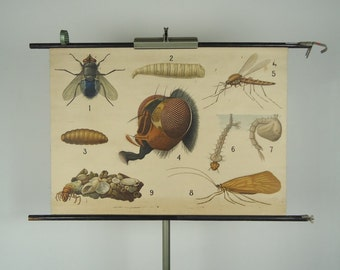 Vintage pull down school chart: fly, mosquito and some other sweethearts