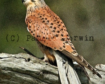 "Eurasian Kestrel Falcon Watercolor Painting print 11x14"":Birds of Prey print Falconry painting print bird watercolor painting"
