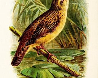 Aquatic Warbler- Late 1800s Vintage illustration