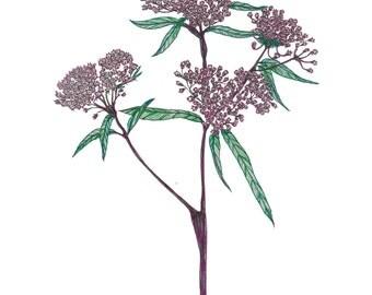 Swamp Milkweed Illustration Print