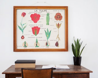 No. 13 & No. 14 - Large Vintage double-sided French school poster - The Tulip and The Buttercup