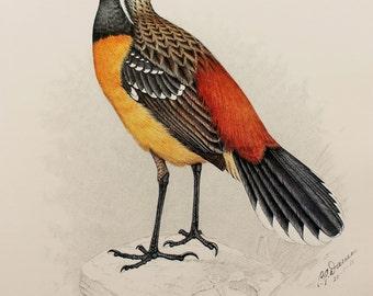 Orange Breasted Rockjumper Bird Print, Superb large Vintage Bird Print by Finch-Davies (1980s)
