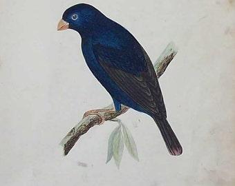 Antique hand tinted bird  illustration (Combassou)