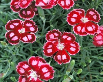 SPANGLED STAR DIANTHUS Live Plant Clove Scented Flowers So very Fragrant Grow Full Sun Hardy Pink & Red Carnations Attractive Grassy Mound