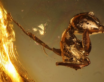 Baltic Amber Inclusion 1601 HUGE PART of ANT inside genuine baltic amber. Fossil Insect - More than 40million years old. 蚂蚁,包容,琥珀