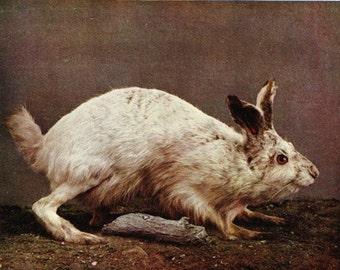 Antique Hare Print, Antique Rabbit Print, Vintage Rabbit Print, Hare Clipart, Rabbit Image, Old Rabbit Photo. Rabbit Clip Art, Hare Image