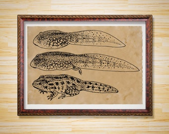 Antique toad decor Frog art print Tadpole Animal poster