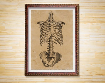Vintage rib cage medical illustration Skeleton print Anatomy poster