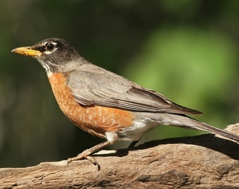 American Robin, free shipping, sonbird, bird, photo, print, nature photography, wall art, home decor