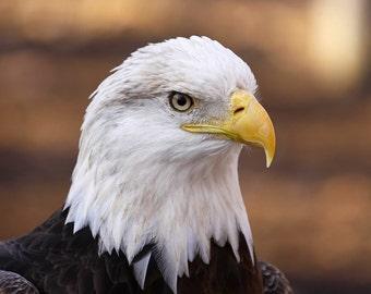 Bald Eagle, bird, animal, photo, print, art, photograghy, home decor, wall art, nature photography, free shipping