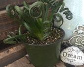 "LIMITED Rare Albuca Spiralis 'Frizzle Sizzle' in 6"" Pot- La Fleur Succulente"