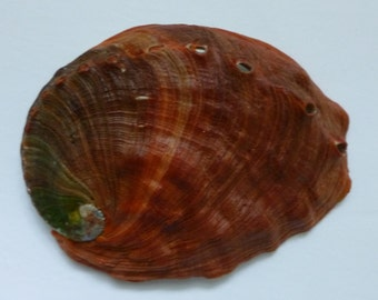 "Red Abalone Seashell;  5-3/4"""