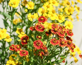Helenium Red and Yellow Mix Organic Seeds