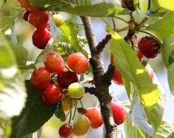 cherry photo, cherry photography, art decoration, photo of fruits, Cherry tree, photo of food, decorations kitchen, rustic decor