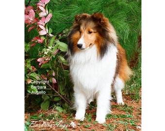 Sheltie Flag, Sheltie Gift, Sheltie Art, Sheltie, Shetland Sheepdog