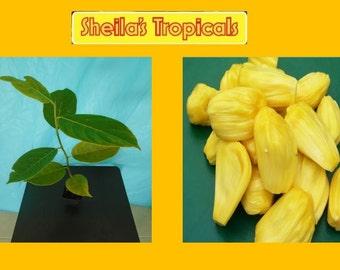 Potted Seedling Florida Giant Jackfruit Plant Tropical Flower Fruit Tree from FL