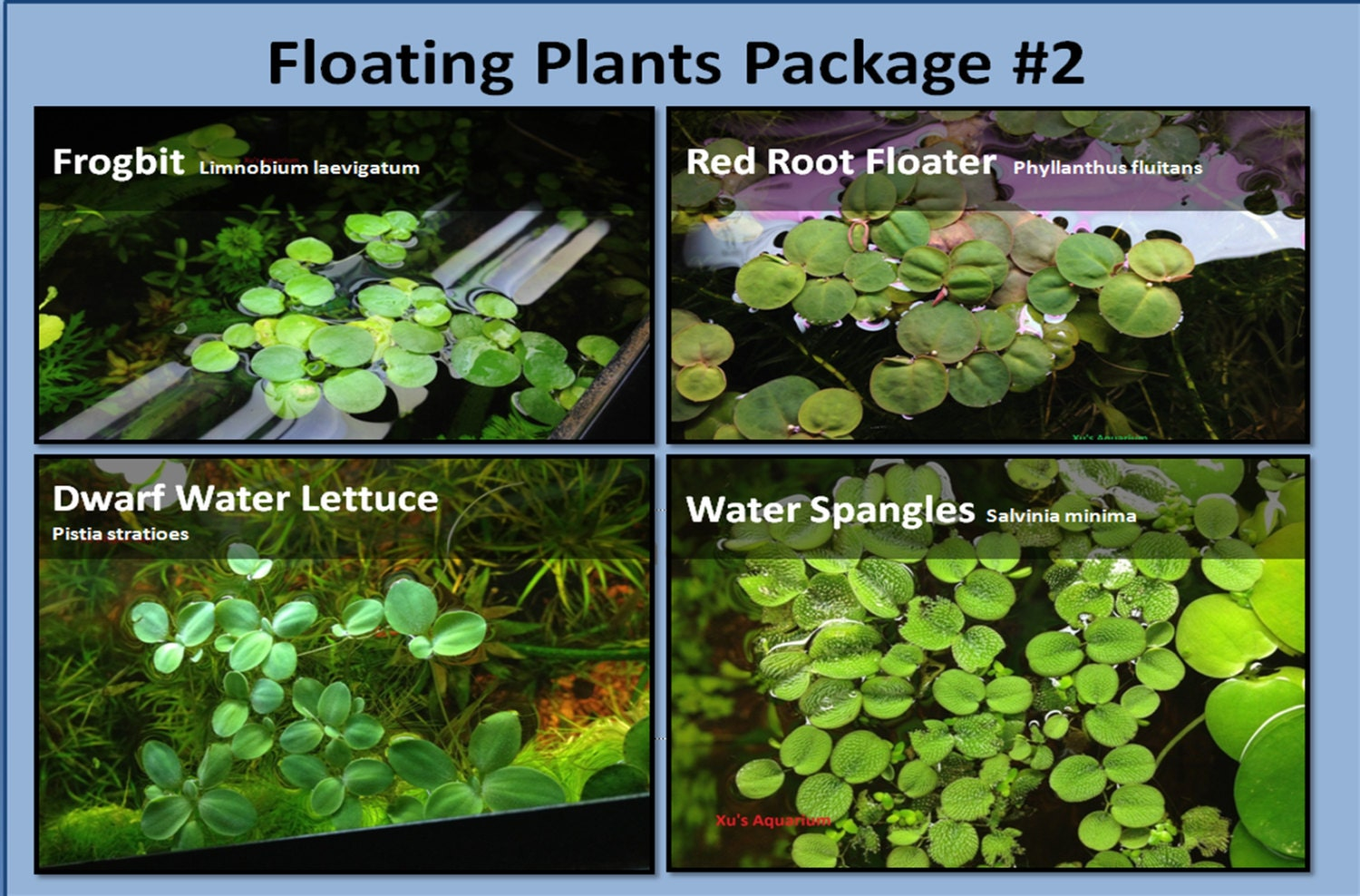 Floating plant package 2 frogbit red root floater dwarf for Levitating plant