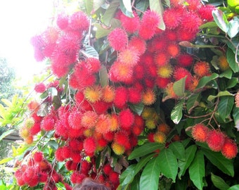 100% ORGANIC & Exotic Red Rambutan Nephelium Lappaceum Fruit Tree