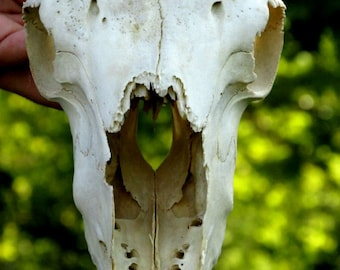 Real Sheep Skull, Real Animal Skull, Taxidermy, Gothic, Pagan, Macabre Art, Skull and Bones, Creepy, Alternative Decor
