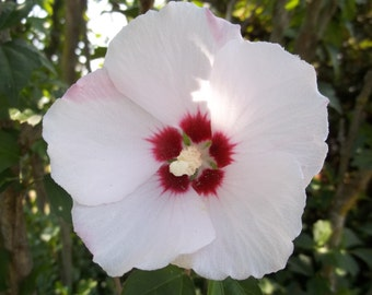 Rose Of Sharon Seeds - White - 50 Seeds