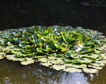 Digital Picture/Photo/Wallpaper/Desktop Background/Landscape/Forest/ Bulgarian Water Lily