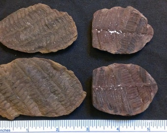 2 pairs of plant fossils AB2