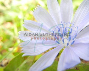 Blue Chicory Flower Archival Photo Print