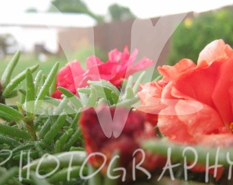 Roses Macro