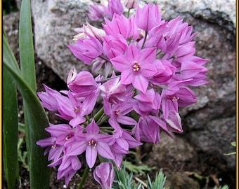 18 Ostrowkianum Allium Bulbs  - Fall Shipping