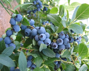 1 Bluecrop - Blueberry Plant - Ready for Shipping