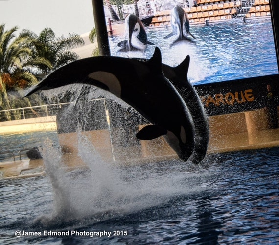 Orca Wall Decor, Wildlife Photography, Whale photography, Killer Whale, Orca wall art, Whale Wall Art, Whale prints, Orca Art, Orca Whale