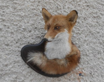 Red fox head with tail trophy taxidermy