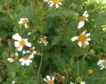 Bidens pilosa alba ORGANIC seeds 150+ Spanish Romerillo medicinal edible herb