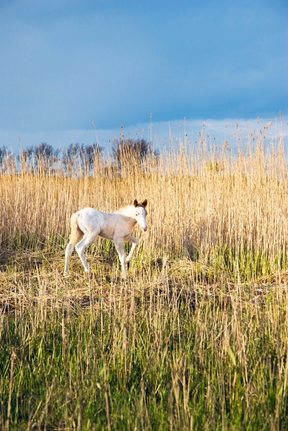 WHITE BEAUTY. Foal Print, Horse Picture, Dorset Print, Christchurch, Limited Edition, Photographic print.
