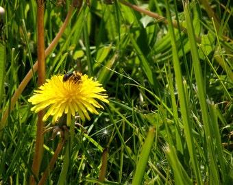 The Dandelion Bee