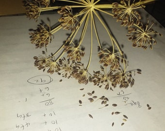 Dill (anethum) seeds