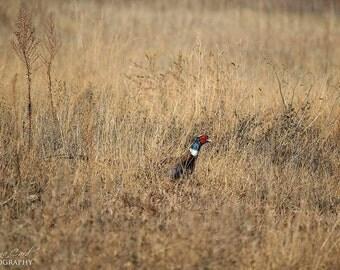 Pheasant photo, Wildlife photo