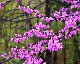Branches of Cherry Blossom