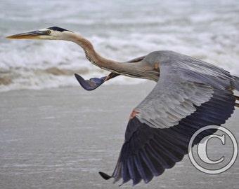 Nature Photo Great Blue Heron Taking Flight Photo Print