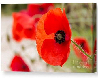 Canvas print of red poppy poppies remembrance love devon art canvas pretty beauty hot photography life love romance couple flower flowers