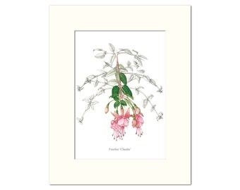 Fuschia 'Claudia' Botanical Print by Heather Raeburn