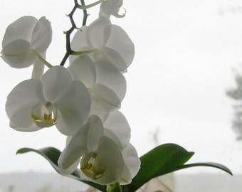 White Orchid Photo, 5x7 Flower Photo (version 2), White Phalaenopsis Orchid, Plant Photo, Moth Orchid