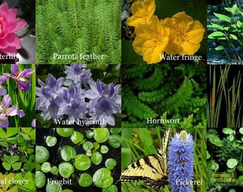 12 Varieties of pond plant for the new pond - A selection of aquatic plants all in one box!