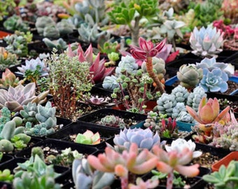 100+ Assorted Succulent seed varieties, succulents succulent plants-party favors- lithops-cactus-cacti-favor weddinggifts diy garden, rare s