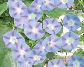 "25+ Morning Glory ""Caprice"" / Perennial Flower Seeds"