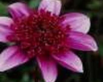 15+ Purple Milano Dahlia / Annual Flower Seeds