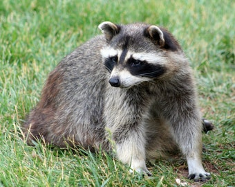 Raccoon Photograph, Nature Photography, Wall Art