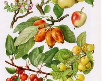 1960's Vintage Apple Print, Apples, Apple, Apple Print, Apple Lithograph, Fruit, Fruits, Fruit Print, Fruit Lithograph, Kitchen Prints