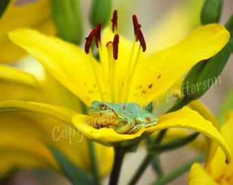 Green frog in yellow daylily