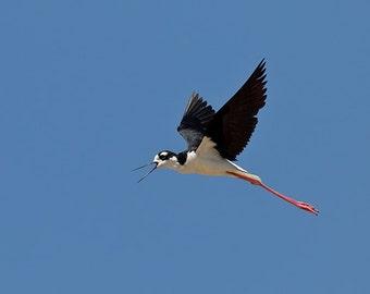 Black Necked Stilt in Flight